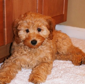 labradoodle, puppies, mini, red, Oregon, Washington, standard, for sale
