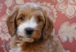 Australian labradoodle puppies in Salem and Portland and McMinnville Oregon.