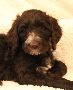 Oregon small breeder Australian labradoodles.