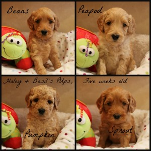 Australian Labradoodle puppies breeder Oregon Washington Seattle.
