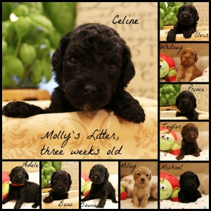 Labradoodles Oregon Washington Seattle Utah black puppies
