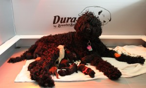 Oregon black Australian Labradoodle puppies available now