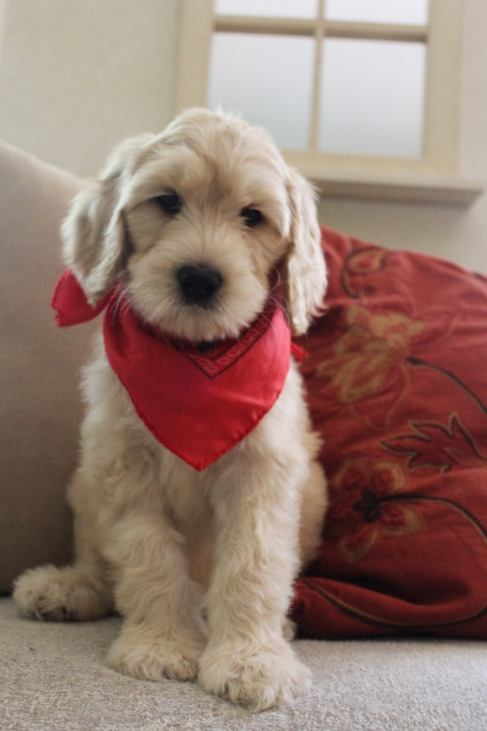 Australian Labradoodle Puppies Available Through Our