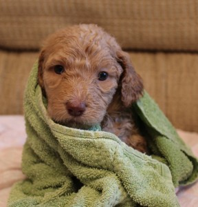 Labradoodle puppies in Oregon, standard reds and blacks.