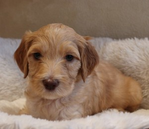 Labradoodle puppy available now in Oregon and Seattle and Washington.