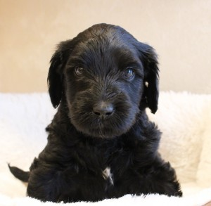Labradoodle puppies in Portland and Salem Oregon.