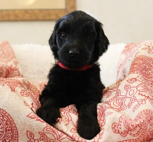 Black Australian Labradoodles medium standard Seattle Utah Portland Oregon.