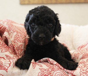 Australian Labradoodle breeder Oregon Washington Utah.