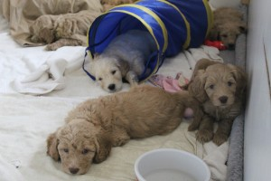 Portland McMinnville Oregon and Seattle Washington labradoodle puppies in standard size.