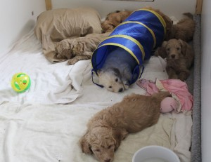 Oregon breeder of standard Australian labradoodle puppies in Washington and McMinnville and Seattle.