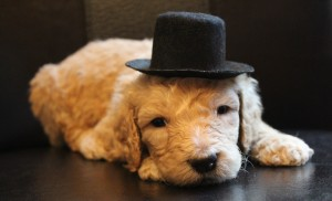 Standard labradoodle puppies in Oregon in cream and black. Washington and McMinnville.