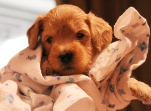 Labradoodle puppies in Seattle and McMinnville Oregon.