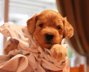 Portland Oregon labradoodle puppies, cream and chocolate.