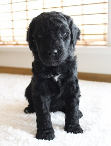 Australian labradoodles available, Oregon and Washington breeder in California.