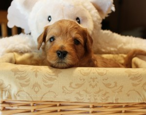 Australian labradoodle puppies taking reservations in Oregon.