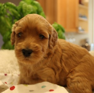 Labradoodle puppies available Portland Seattle Salem Oregon.
