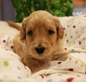 Australian Labradoodle puppies Oregon Idaho Utah Seattle.