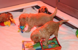 It's a great life, raising labradoodle puppies!