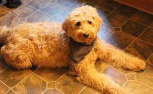 Seattle and McMinnville Oregon and Washington Labradoodle puppies coming soon.