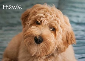 labradoodle puppies, standard, medium and minis in Oregon and Washington, McMinnville.