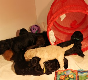 Australian Labradoodles breeder puppies now Oregon Seattle Portland.