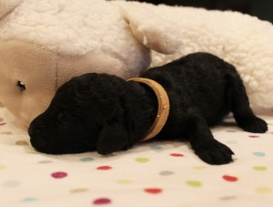 Australian Labradoodle puppies now Oregon Washington breeder.