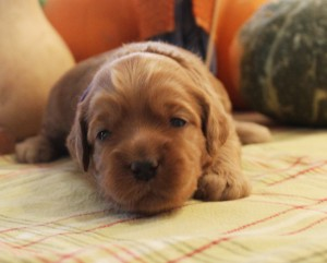 Australian Labradoodle Oregon breeder Portland puppies black