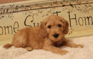 Australian Labradoodle puppies in McMinnville and Salem Oregon.