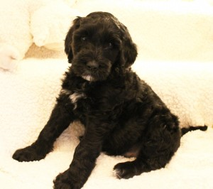 We have one labradoodle puppy available now