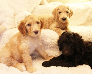 Australian Labradoodle puppies in McMinnville Salem Portland and Seattle
