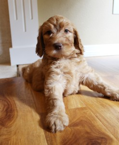Labradoodle puppies available small breeder Idaho and Washington.