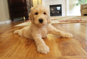 California Australian Labradoodle breeder in Oregon.