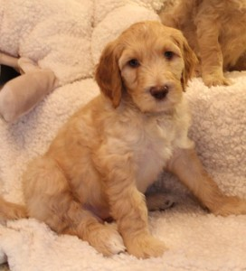 Labradoodle puppy available now small breeder in Oregon.