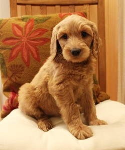 Oregon Australian Labradoodle puppy breeder in Redding California.