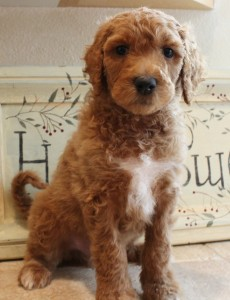labradoodle breeder of puppies large and medium and mini in Oregon.