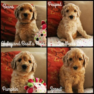 Australian Labradoodles available now black cream multi gen Oregon Idaho Utah