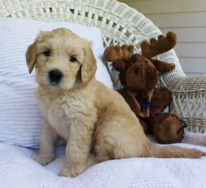 Labradoodle puppies available now in Portland Oregon.