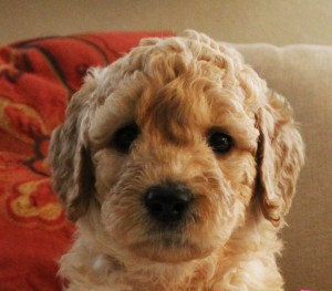 Labradoodle breeder Oregon Washington Seattle.