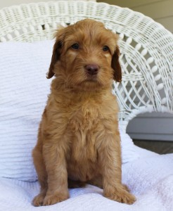 Australian Labradoodle puppies in Oregon, Washington, Seattle and Vancouver in red and chocolate.