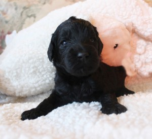 Labradoodle breeder Salem Seattle Portland Oregon