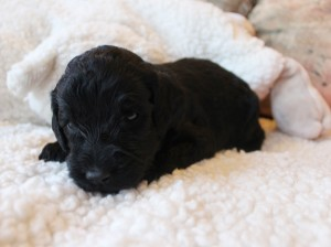 Labradoodle puppies available Portland Oregon black Seattle