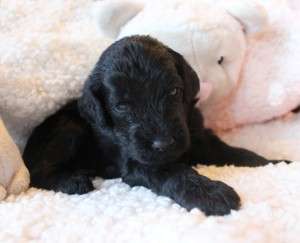 Oregon Seattle labradoodle puppies black