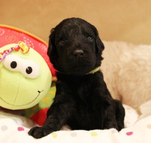 Australian Labradoodle puppies Salt Lake City Portland