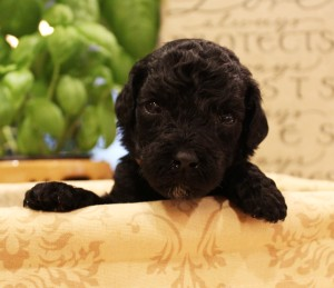 Australian labradoodle puppies black Seattle Portland Washington.