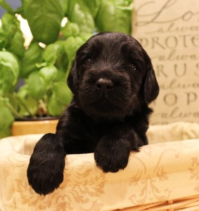 Australian Labradoodles breeder Salt Lake City