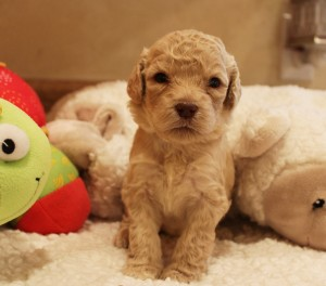 Australian labradoodles black puppies Oregon Washington Seattle breeder.