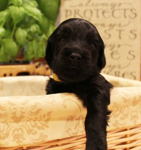 Black Australian Labradoodles Seattle Salt Lake City now