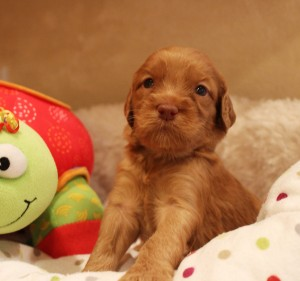 Australian Labradoodle puppies Salt Lake City now