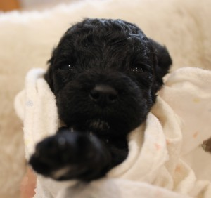 Labradoodle puppies black Oregon breeder Utah Seattle.
