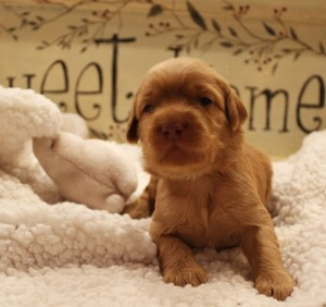 labradoodle puppies available in Vancouver and Portland.